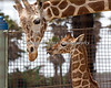 Baby Ingrid gives her mom, Barbro, a kiss.  (Reticulated Giraffes)