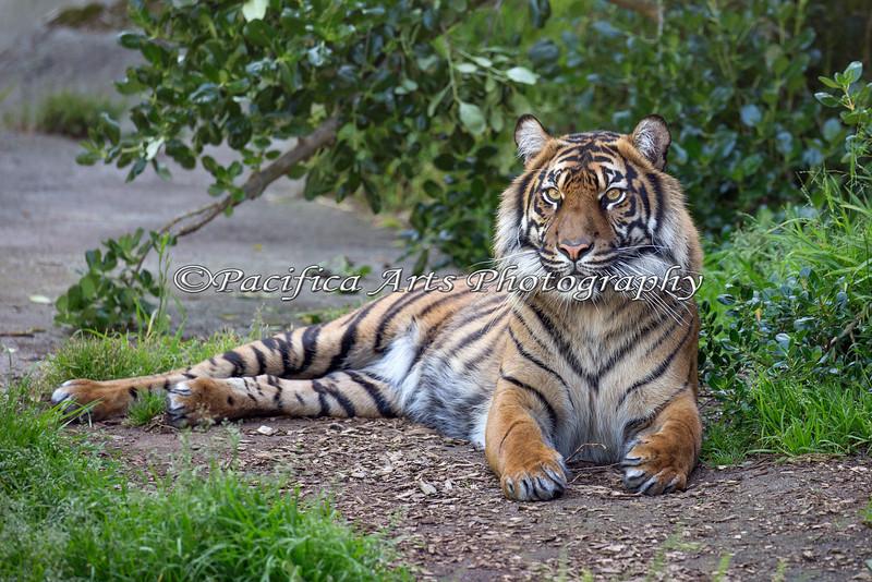 Her majesty, Jillian.  (Sumatran Tiger)