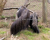 Giant Anteater, Evita, teaching her young son, Wayne, how to dig for bugs in the yard.