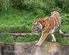 Amur Tiger, J.T. Bronevik, walking around his yard.