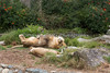 These African lions really excel at sleeping!  (Jahari & Sukari)