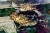 Turtle, Western Pond