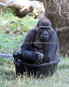 Hasani sitting in a bucket!  Sometimes it's hard to tell the feet from the hands!  (Western Lowland Gorilla)