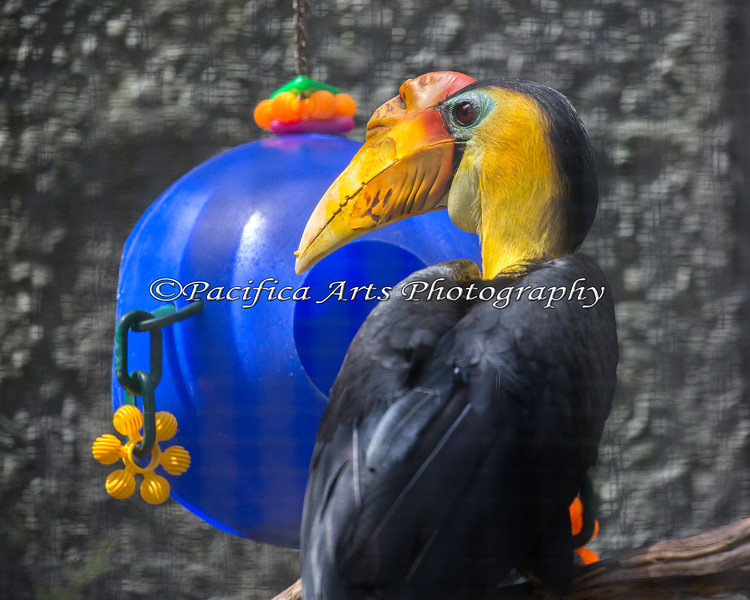 One of the Wrinkled Hornbills, looking for a snack in its enrichment ball.