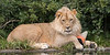 African Lion, Jasiri, playing with one of his favorite toys, a cone!