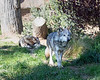 Mexican Gray Wolves, Prince & Bowie