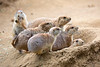 Black-tailed Prairie Dogs, ready to dash down the hole at the slightest alarm.