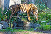Sumatran Tiger, Larry, coming down for a drink.