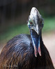 Here's a new face on the block - a young, female Double-wattled Cassowary!