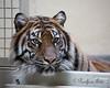 Jillian, almost 4 years old.  (Sumatran Tiger).  Next time I see you, you'll be at the Sacramento Zoo!