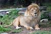 African Lion, Jahari, relaxing in his yard.