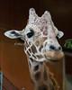 Reticulated Giraffe, Floyd, inside the Giraffe House.