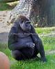Western Lowland Gorilla, Monifa