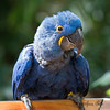This Hyacinth Macaw came down to say hi!