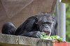 Looks like bokchoy is on the lunch menu for Chimpanzee, Minnie,
