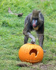 She doesn't know it yet, but there are roasted pumpkin seeds inside this jack-o-lantern!  And yes, she at them all!  (Mandrill)