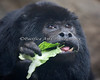 Black Howler Monkey, Robin Williams, eating his lunch
