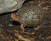 On of the four little Box Turtles in Lion House