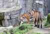 Sumatran Tigers, Leanne & Larry