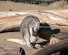 Wallaroo, Dundee, checking on a new baby in her pouch!