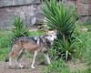 Mexican Gray Wolf, Bowie