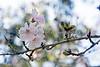 Springtime blooms - Flowering Cherry Tree