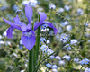 Irises & Forget-Me-Nots - a sure sign of Spring!