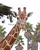 Female Reticulated Giraffe, Eve