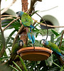 The three musketeers!  Blue-headed Macaws coming down for a snack in the South American Tropical Rainforest & Aviary.