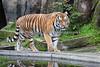 Amur Tiger, J.T. Bronevik, poolside.