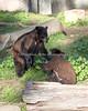 The Black Bear cubs at play.