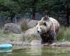 Kachina looking for fish in the pool.  (Grizzly Bear)