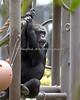 Chimpanzee, Minnie, doing some people-watching.