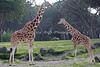 Reticulated Giraffes, Bititi & Ingrid