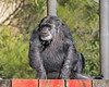 Chimpanzee, Cobby, on an almost sunny day.