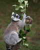 Ring-tailed Lemur picking out some choice Coprosma leaves.