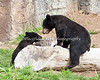 I'm so glad these two came together.  They get along great and play a lot during the day.  (Black Bear cubs)