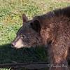 Black Bear cub, Valdez