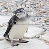 Such a cutie!  (Magellanic Penguin chick)