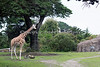 Reticulated Giraffe, Barbro, on the left, and a Marabou Stork off to the right.