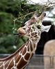 Reticulated Giraffe, Eve, nibbling on some leaves.