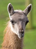 Just look at those eyelashes!  This is the young Guanaco that was born last year.  She's a beauty!
