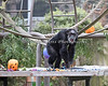 In this photo, Maggie was happily anticipating the Boo at the Zoo envent.  (Chimpanzee)