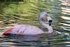 Young Chilean Flamingo, bathing.