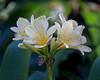 Clivia flowers near the Patas Monkeys