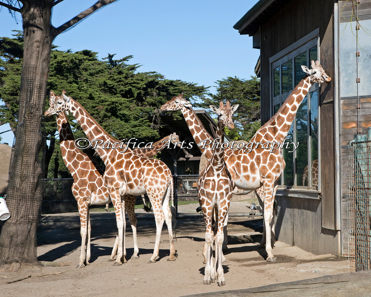 """""""The Herd""""<br /> The females are all up front, and you can see Floyd in the back center.<br /> (Reticulated Giraffe)"""