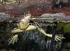 Adult Yellow-legged Frog