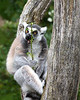 Ring-tailed Lemur snacking on Coprosma leaves.