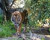Larry, a Sumatran Tiger, strolling around his yard.