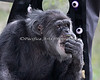 """Looks like Cobby loves the veggies that were given to him during """"Boo At The Zoo!"""" (Chimpanzee)"""